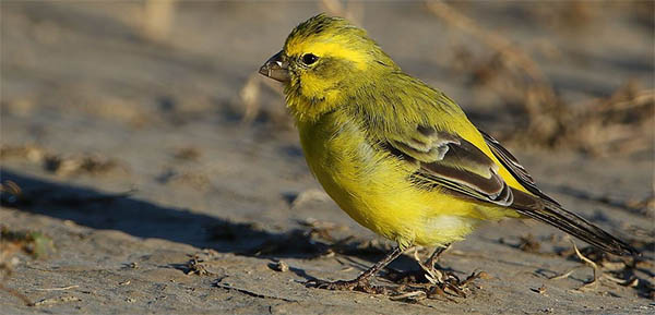 canaries were used in coal mines to warn coal miners of carbon monoxide