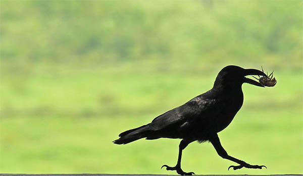 dead crow spiritual meaning