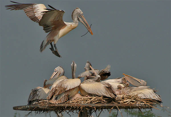 dead pelican spiritual meaning