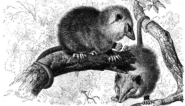 two possums in a tree