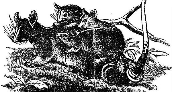 old ink drawing of a family of possums