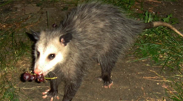 opossum eating grapes