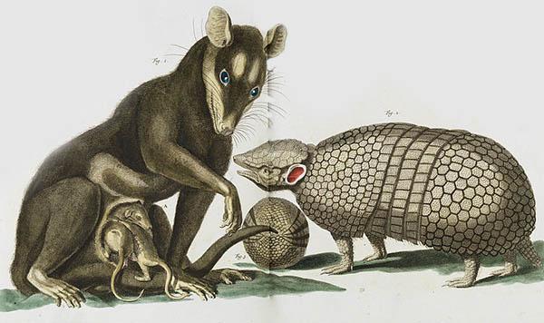 possum opossum and armadillo