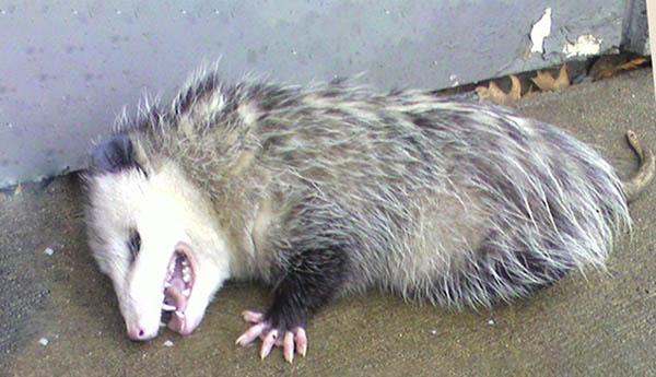 possum playing dead spiritual meaning