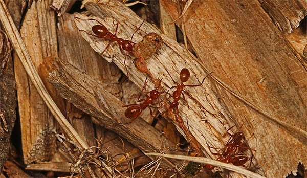 red ants spiritual meaning