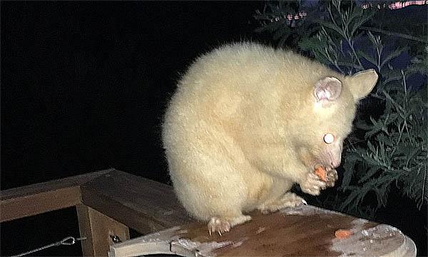 white possum opossum spiritual meaning omen
