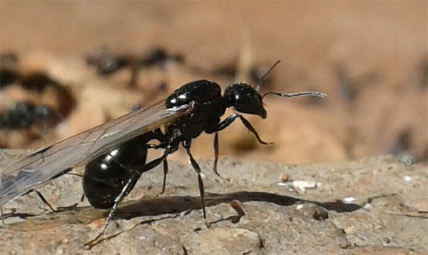 winged ants flying ants spiritual meaning omen