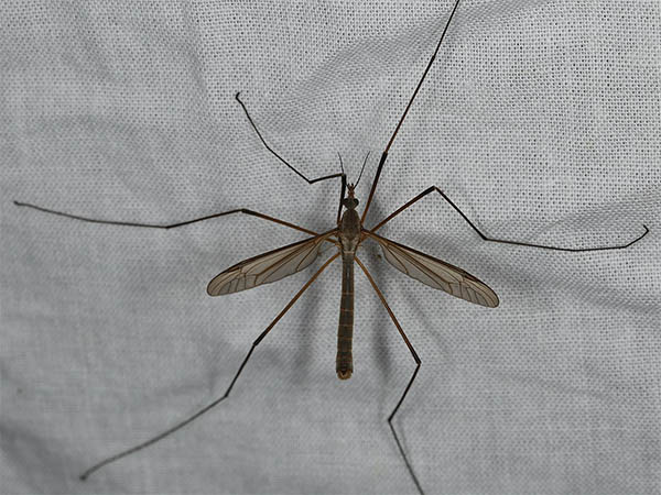 crane fly spiritual meaning omens