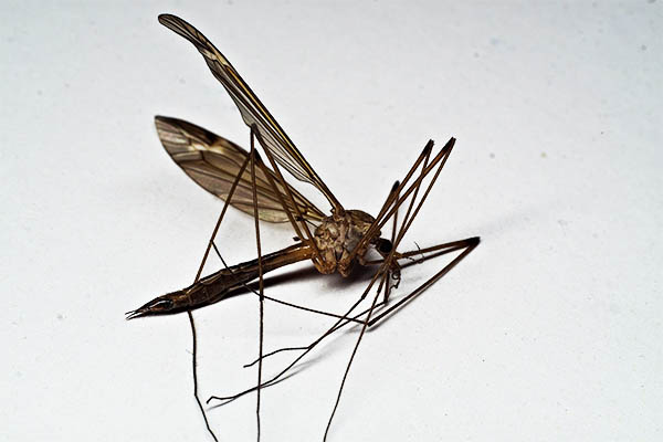 dead crane fly meaning omens