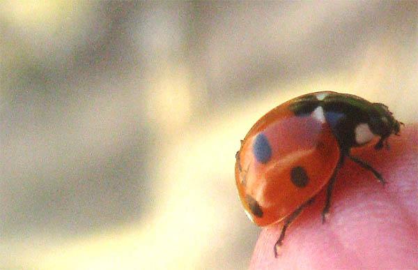 dead ladybug omen spiritual meaning
