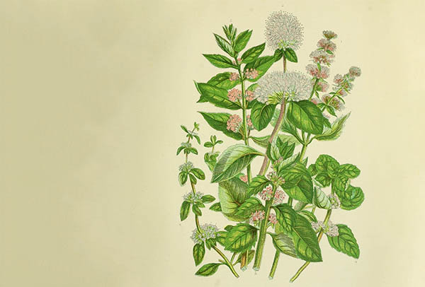 eating mint leaves helps with throat chakra