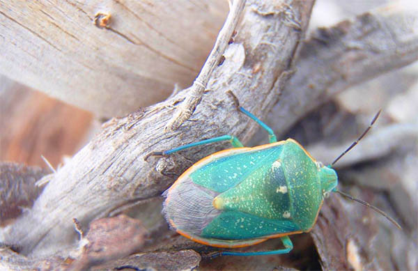 green stink bug spiritual meaning omens