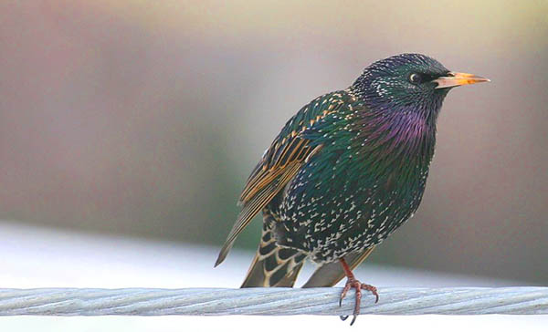 starling color spiritual meaning