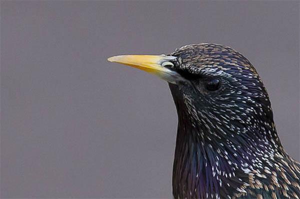 starling yellow beak bill