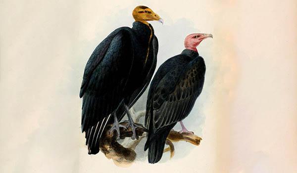 turkey vulture spiritual meaning