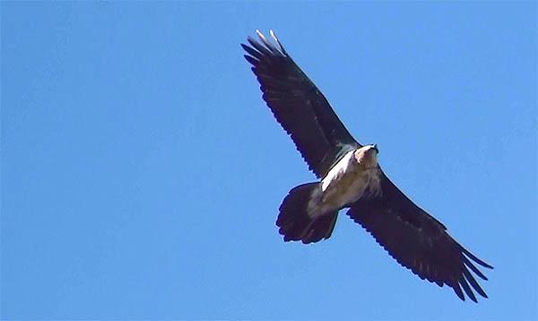 vulture circling overhead bad omen