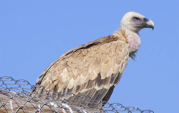 are vultures good omens